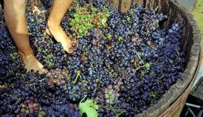 Piggiatura-das-uvas