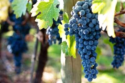Grape vines (1)